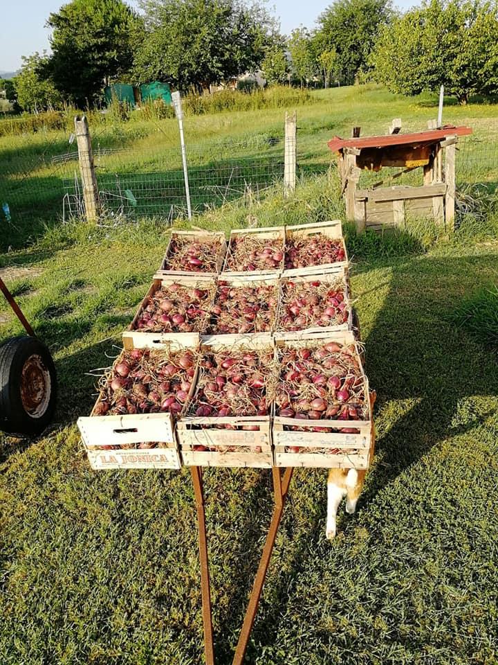 Orticoltura Zafferangelo, cipolle